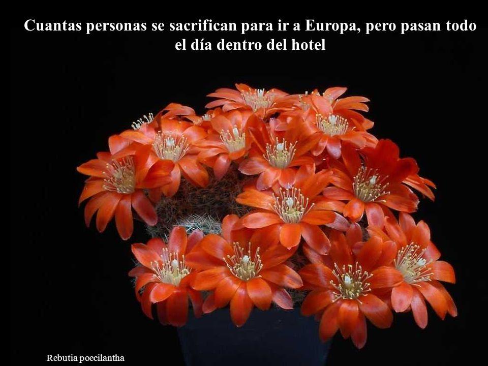 Mammillaria slevinii Cuando haces lo que te gusta, los otros no percibirán si estas trabajando o divirtiéndote.