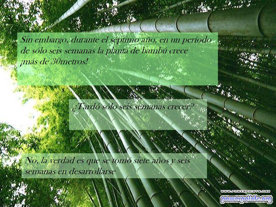 Hay algo muy curioso que sucede con el bambú y que lo transforma en no apto para impacientes: Siembras la semilla, la abonas, y te ocupas de regarla c