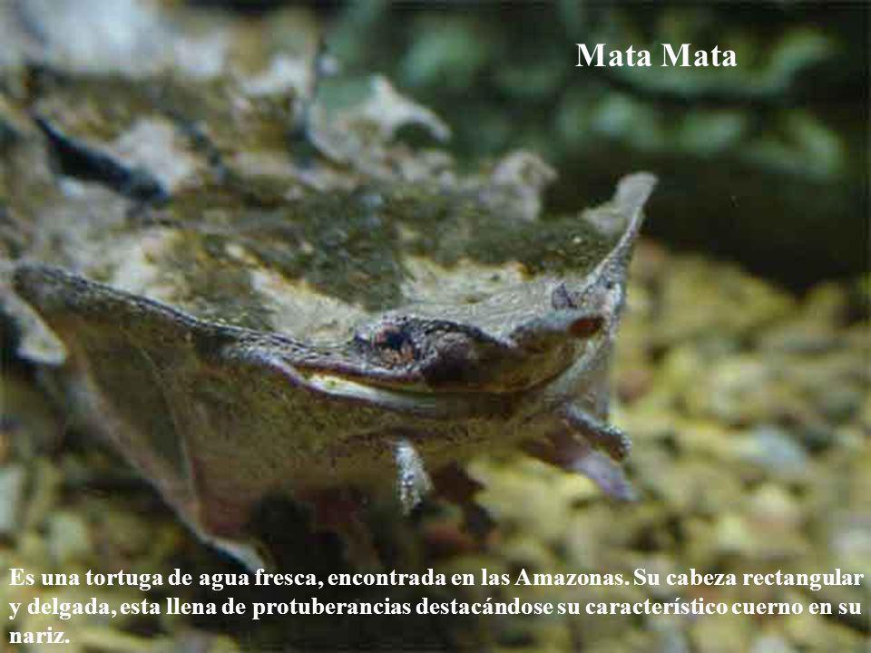 Mata Es una tortuga de agua fresca, encontrada en las Amazonas. Su cabeza rectangular y delgada, esta llena de protuberancias destacándose su caracter