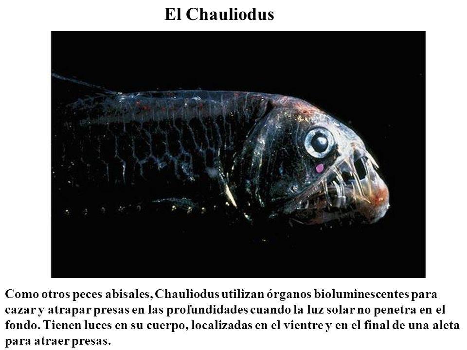 El Chauliodus Como otros peces abisales, Chauliodus utilizan órganos bioluminescentes para cazar y atrapar presas en las profundidades cuando la luz solar no penetra en el fondo.
