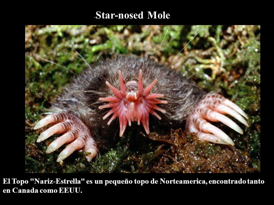 - Star-nosed Mole El Topo Nariz-Estrella es un pequeño topo de Norteamerica, encontrado tanto en Canada como EEUU.