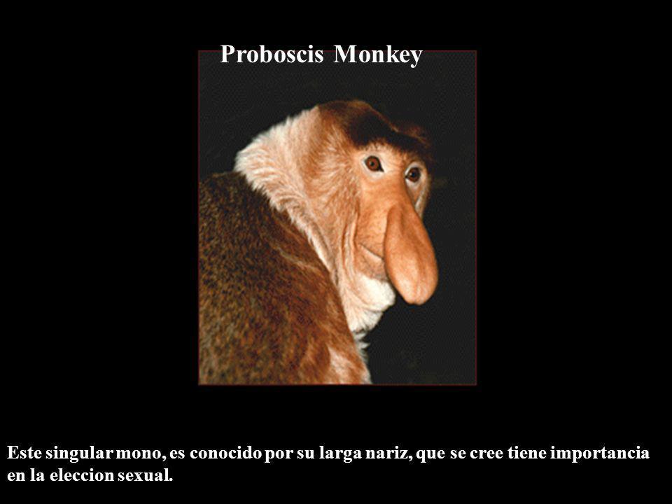 Proboscis Monkey Este singular mono, es conocido por su larga nariz, que se cree tiene importancia en la eleccion sexual.