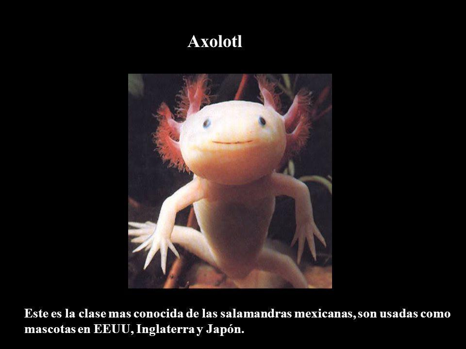 Axolotl Este es la clase mas conocida de las salamandras mexicanas, son usadas como mascotas en EEUU, Inglaterra y Japón.