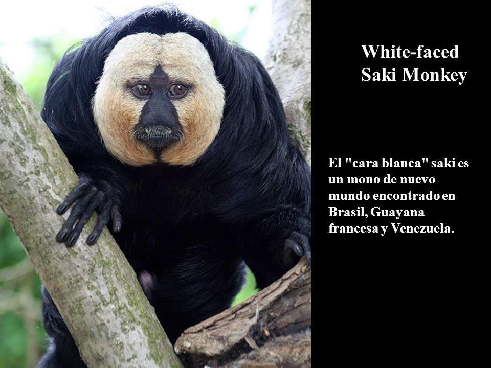 White-faced Saki Monkey El cara blanca saki es un mono de nuevo mundo encontrado en Brasil, Guayana francesa y Venezuela.