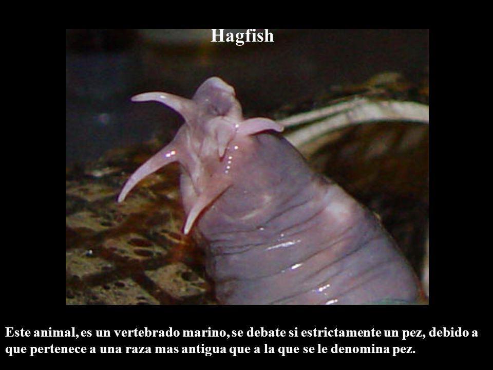 Hagfish Este animal, es un vertebrado marino, se debate si estrictamente un pez, debido a que pertenece a una raza mas antigua que a la que se le deno