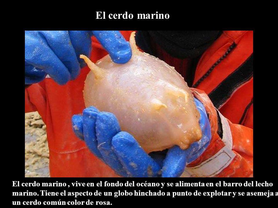 El cerdo marino El cerdo marino, vive en el fondo del océano y se alimenta en el barro del lecho marino. Tiene el aspecto de un globo hinchado a punto