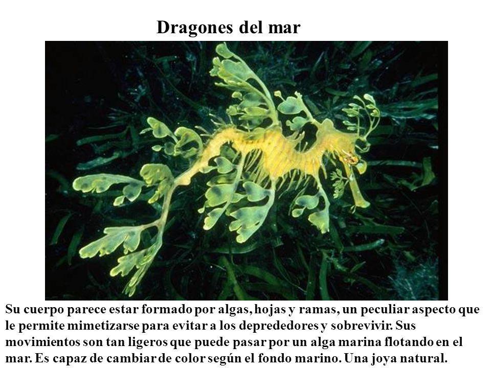 Dragones del mar Su cuerpo parece estar formado por algas, hojas y ramas, un peculiar aspecto que le permite mimetizarse para evitar a los deprededores y sobrevivir.