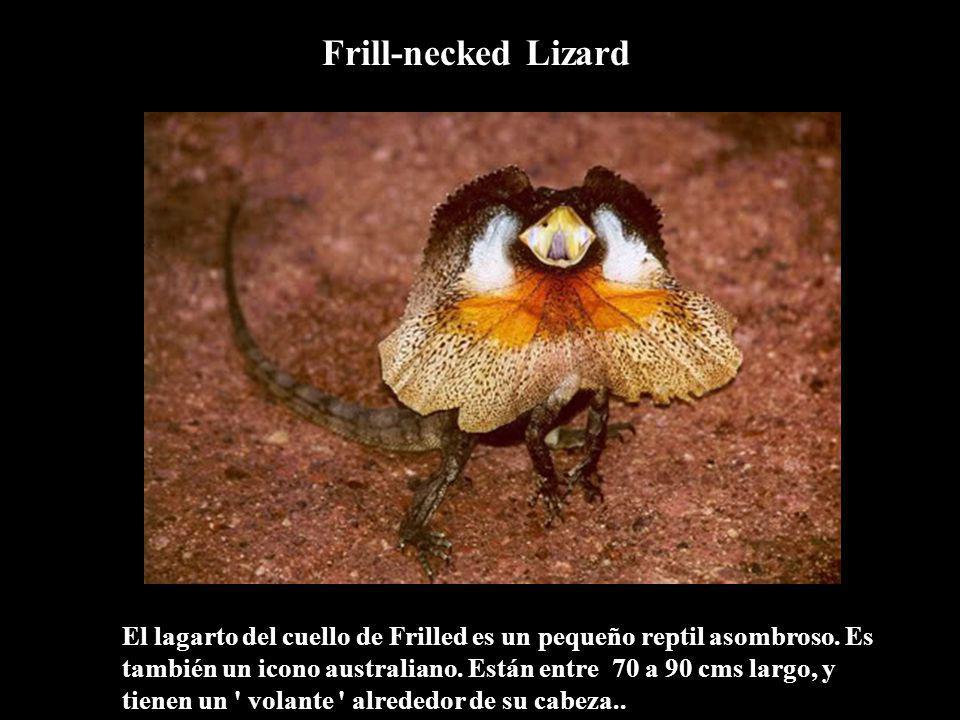 El lagarto del cuello de Frilled es un pequeño reptil asombroso. Es también un icono australiano. Están entre 70 a 90 cms largo, y tienen un ' volante