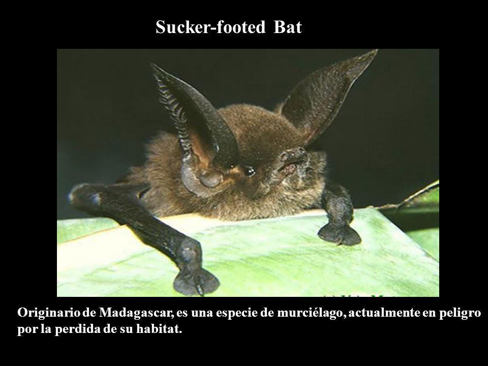 Sucker-footed Bat Originario de Madagascar, es una especie de murciélago, actualmente en peligro por la perdida de su habitat.