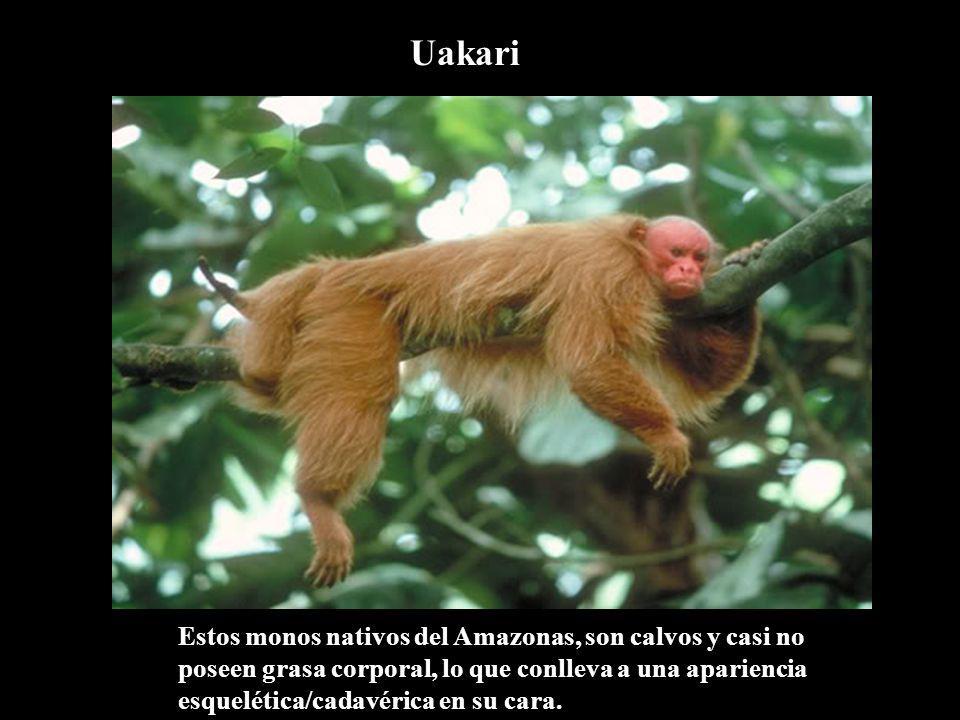 Uakari Estos monos nativos del Amazonas, son calvos y casi no poseen grasa corporal, lo que conlleva a una apariencia esquelética/cadavérica en su cara.