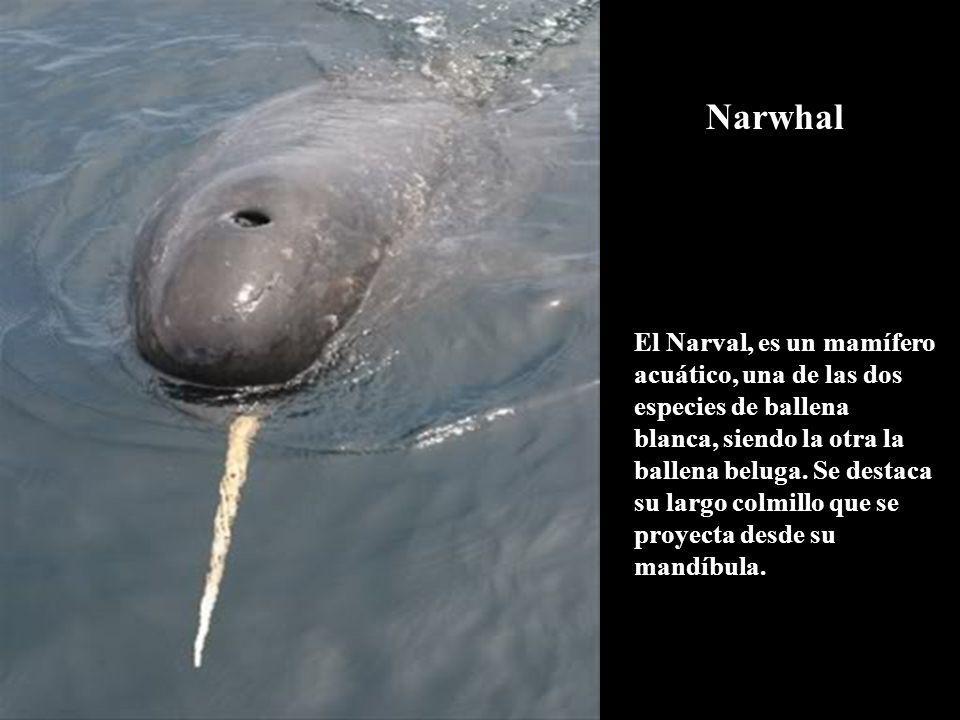 El Narval, es un mamífero acuático, una de las dos especies de ballena blanca, siendo la otra la ballena beluga. Se destaca su largo colmillo que se p
