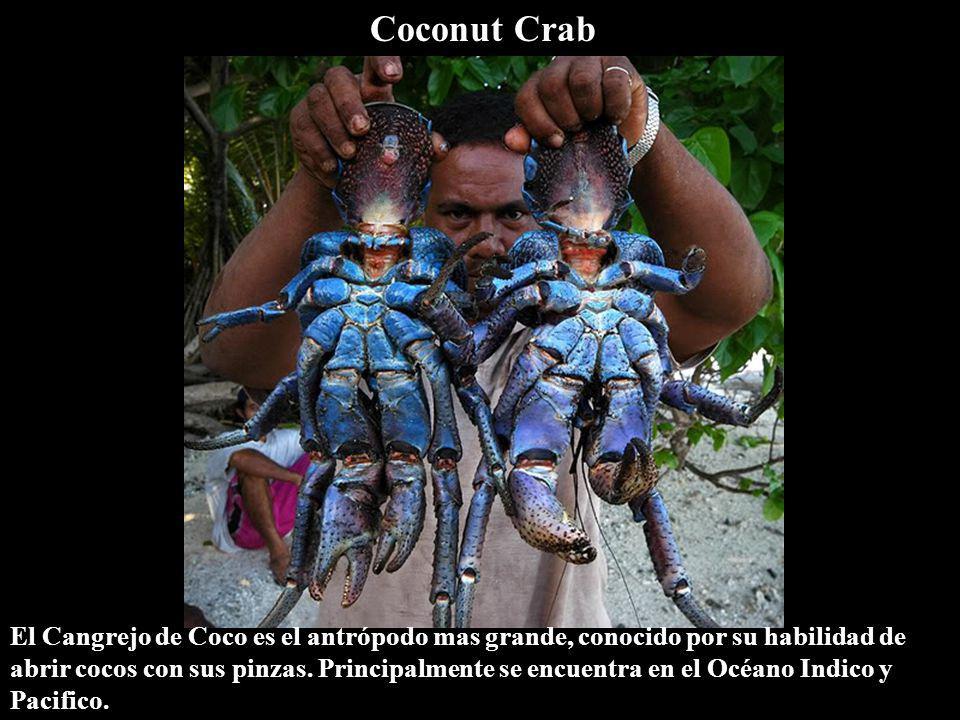 Coconut Crab El Cangrejo de Coco es el antrópodo mas grande, conocido por su habilidad de abrir cocos con sus pinzas. Principalmente se encuentra en e