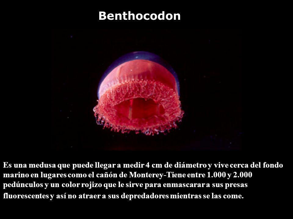 Es una medusa que puede llegar a medir 4 cm de diámetro y vive cerca del fondo marino en lugares como el cañón de Monterey-Tiene entre 1.000 y 2.000 p