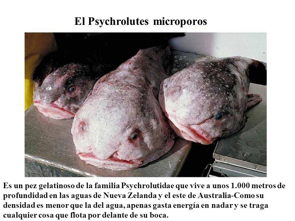 El Psychrolutes microporos Es un pez gelatinoso de la familia Psychrolutidae que vive a unos 1.000 metros de profundidad en las aguas de Nueva Zelanda