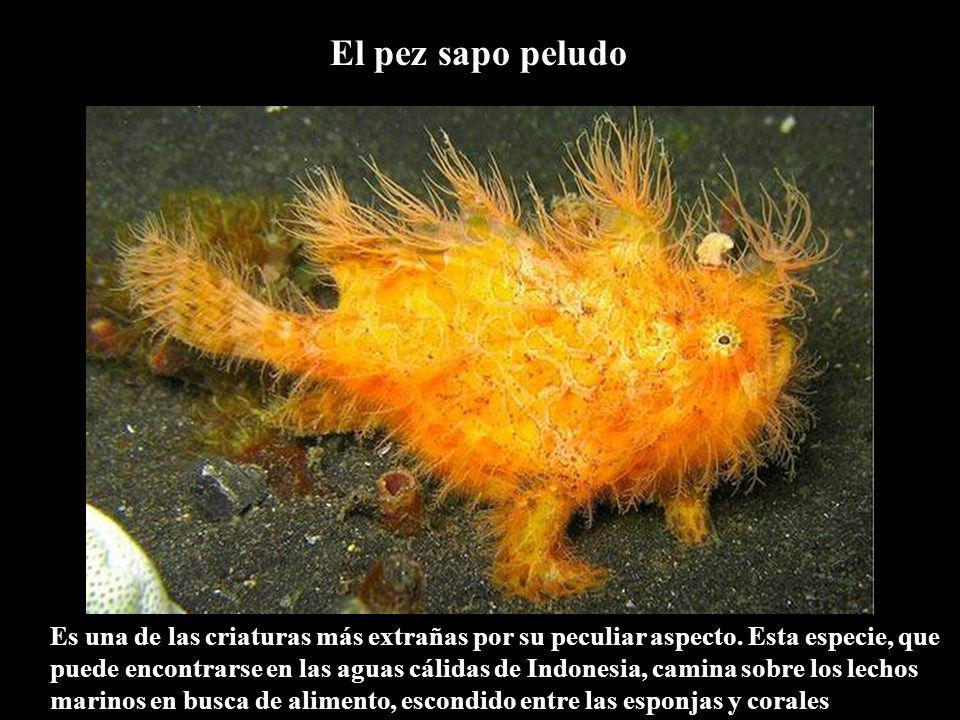 El pez sapo peludo Es una de las criaturas más extrañas por su peculiar aspecto.