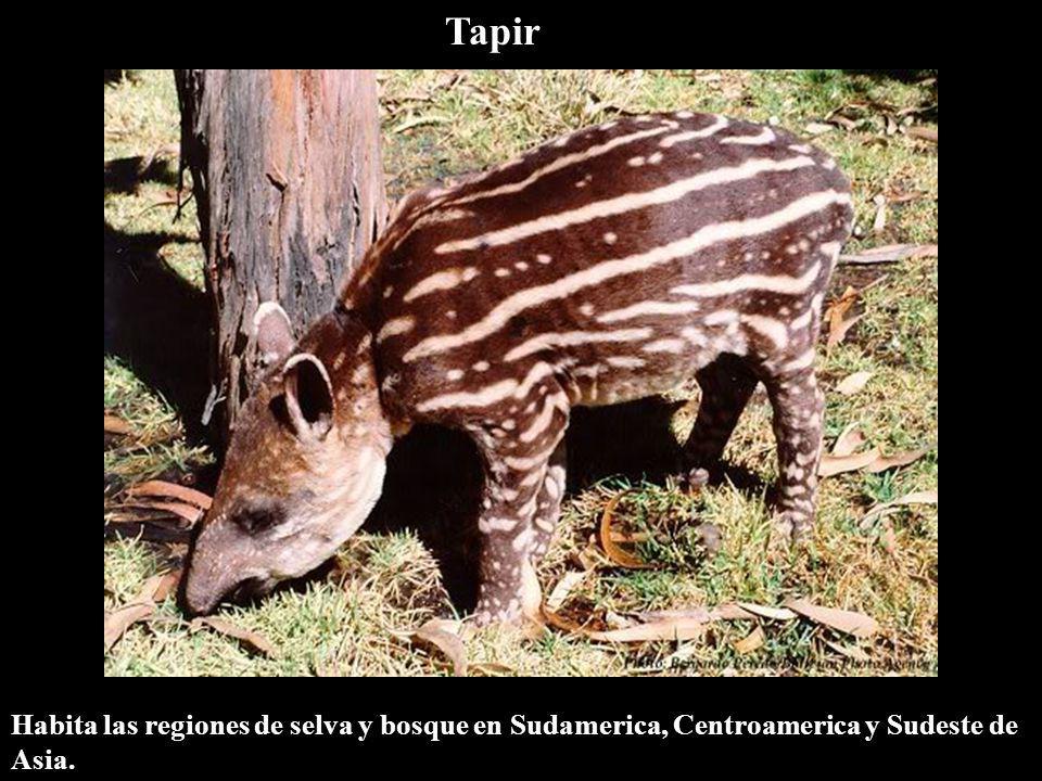 Tapir Habita las regiones de selva y bosque en Sudamerica, Centroamerica y Sudeste de Asia.