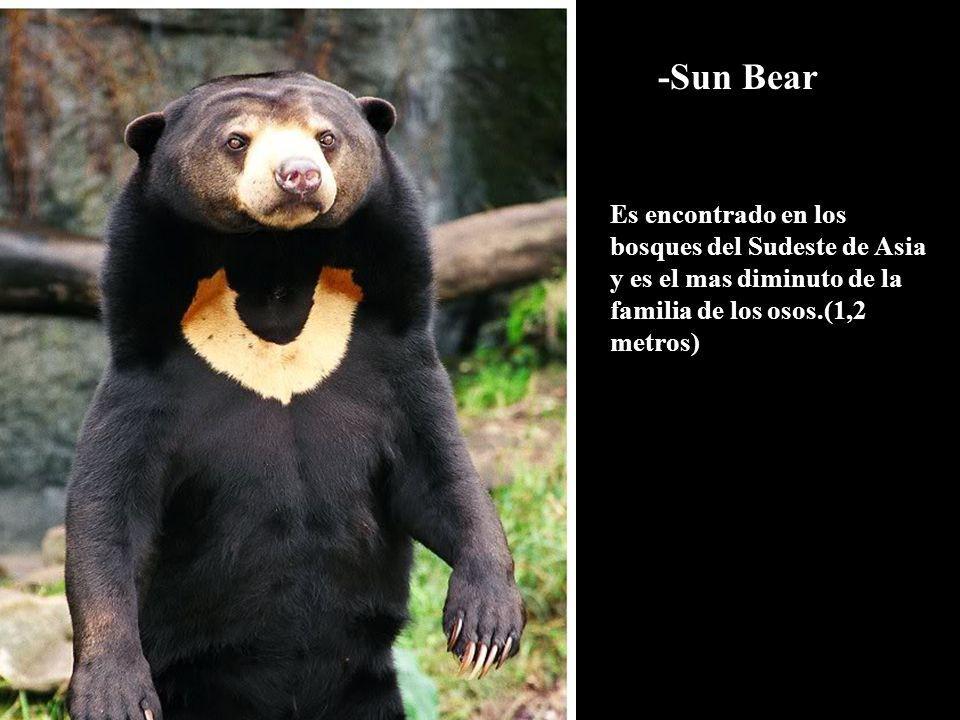 -Sun Bear Es encontrado en los bosques del Sudeste de Asia y es el mas diminuto de la familia de los osos.(1,2 metros)