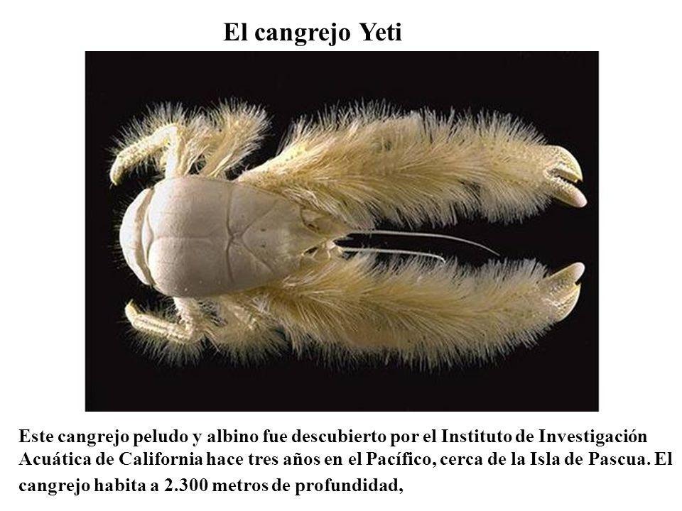 El cangrejo Yeti Este cangrejo peludo y albino fue descubierto por el Instituto de Investigación Acuática de California hace tres años en el Pacífico,