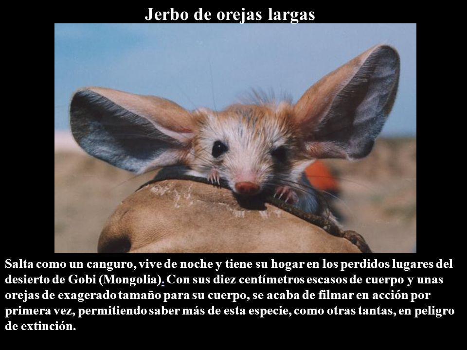 Salta como un canguro, vive de noche y tiene su hogar en los perdidos lugares del desierto de Gobi (Mongolia).