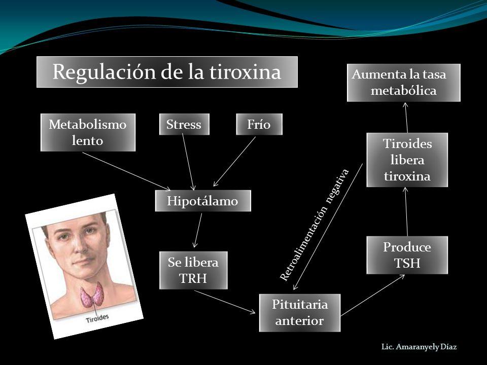 Lic. Amaranyely Díaz Regulación de la tiroxina Stress Frío Metabolismo lento Metabolismo lento Hipotálamo Aumenta la tasa metabólica Aumenta la tasa m