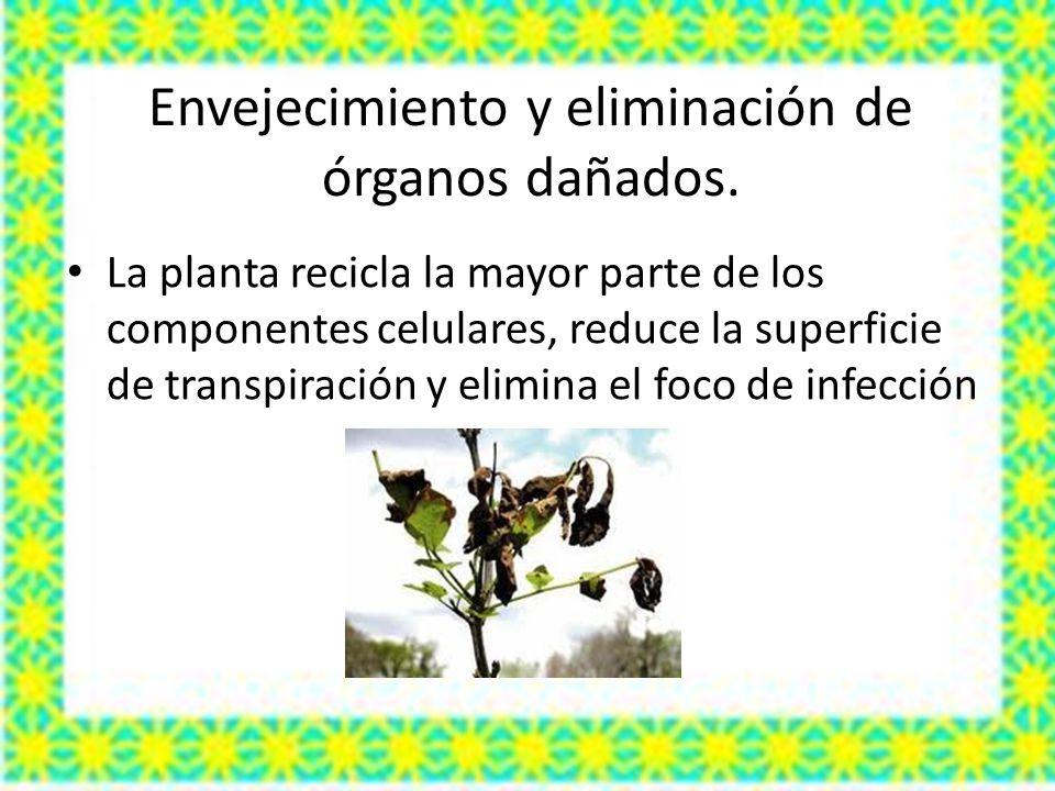 Envejecimiento y eliminación de órganos dañados. La planta recicla la mayor parte de los componentes celulares, reduce la superficie de transpiración