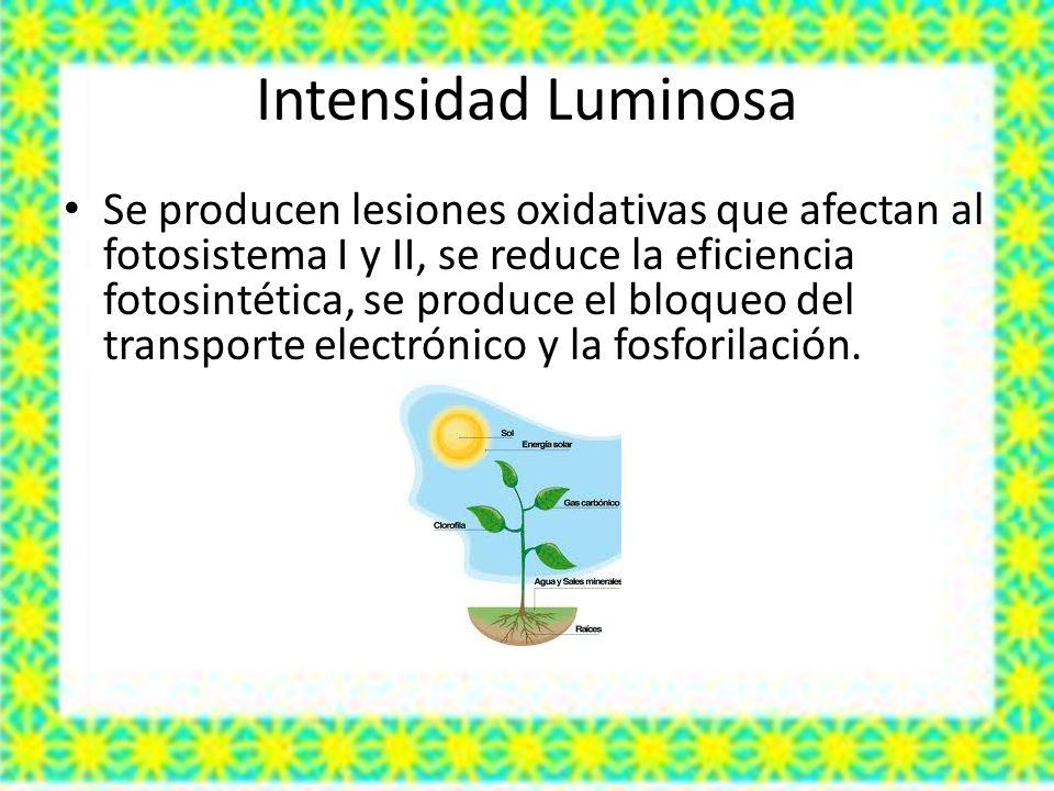 Intensidad Luminosa Se producen lesiones oxidativas que afectan al fotosistema I y II, se reduce la eficiencia fotosintética, se produce el bloqueo del transporte electrónico y la fosforilación.