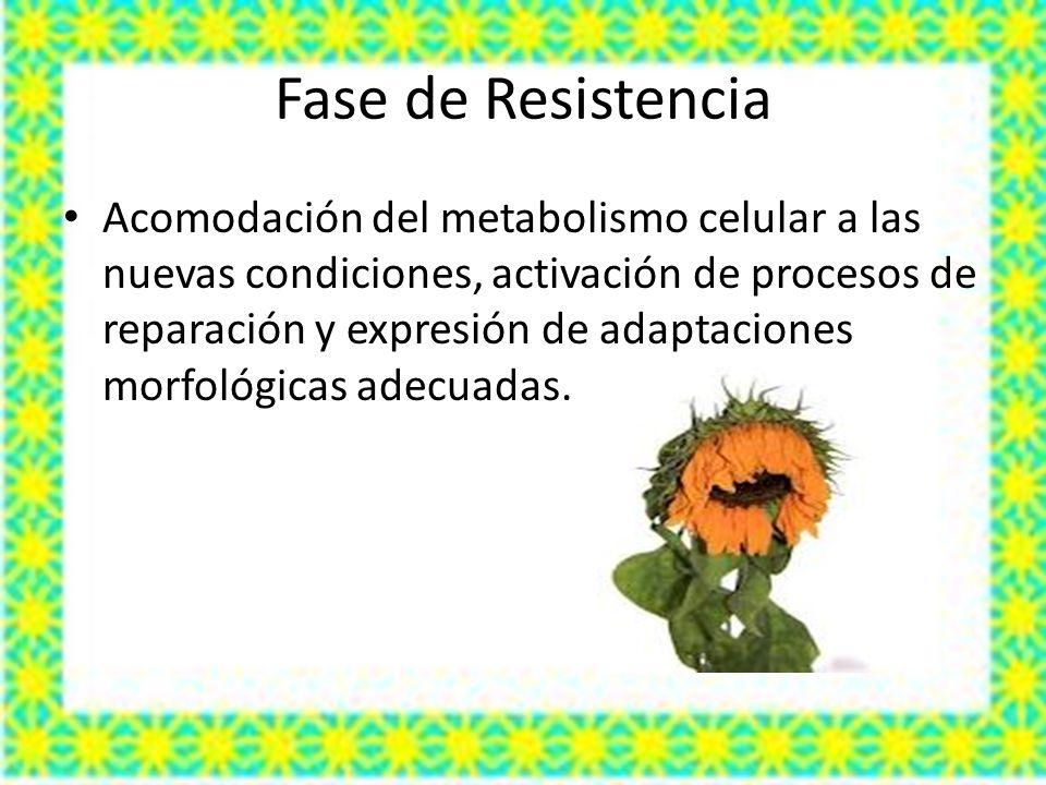 Fase de Resistencia Acomodación del metabolismo celular a las nuevas condiciones, activación de procesos de reparación y expresión de adaptaciones morfológicas adecuadas.