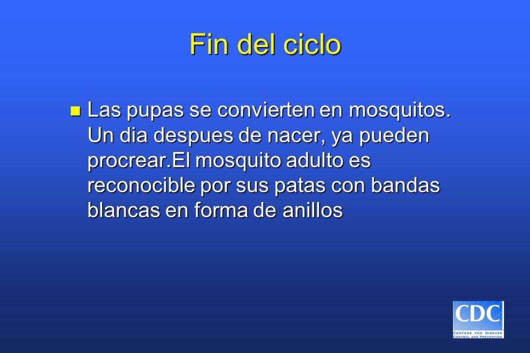 Fin del ciclo n Las pupas se convierten en mosquitos. Un dia despues de nacer, ya pueden procrear.El mosquito adulto es reconocible por sus patas con