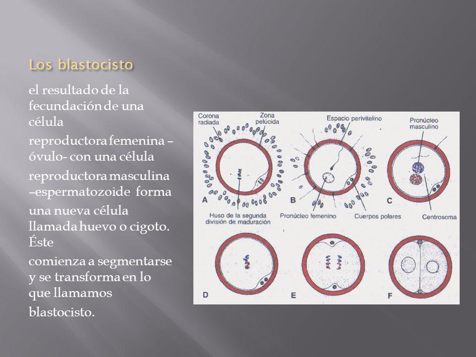Los blastocisto el resultado de la fecundación de una célula reproductora femenina – óvulo- con una célula reproductora masculina –espermatozoide forma una nueva célula llamada huevo o cigoto.