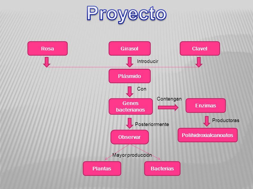 RosaGirasolClavel Plásmido Genes bacterianos Enzimas Polihidroxialcanoatos Observar PlantasBacterias Introducir Con Mayor producción Productoras Contengan Posteriormente