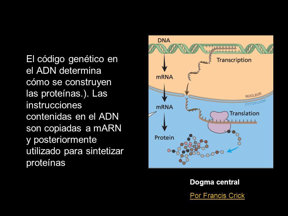 El código genético en el ADN determina cómo se construyen las proteínas.). Las instrucciones contenidas en el ADN son copiadas a mARN y posteriormente