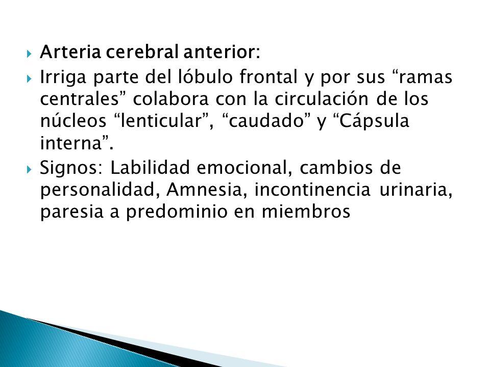 Arteria cerebral anterior: Irriga parte del lóbulo frontal y por sus ramas centrales colabora con la circulación de los núcleos lenticular, caudado y