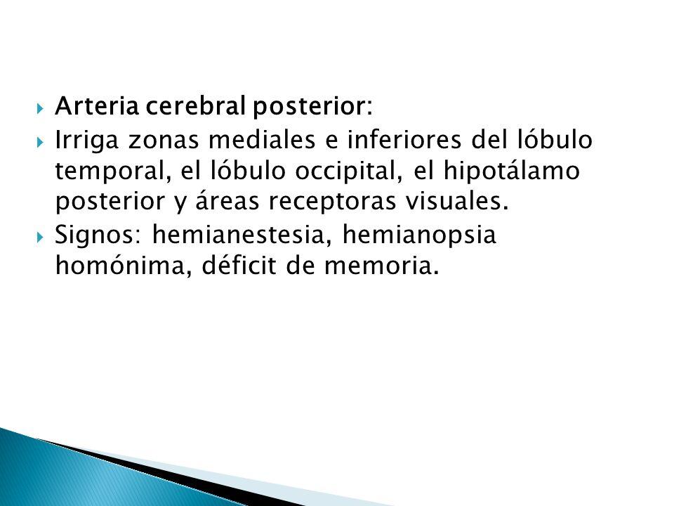 Arteria cerebral posterior: Irriga zonas mediales e inferiores del lóbulo temporal, el lóbulo occipital, el hipotálamo posterior y áreas receptoras vi