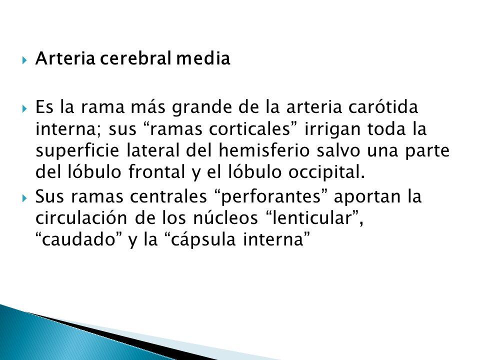 Arteria cerebral media Es la rama más grande de la arteria carótida interna; sus ramas corticales irrigan toda la superficie lateral del hemisferio sa