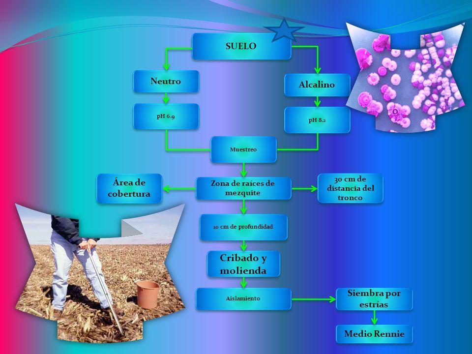 SUELO Neutro Muestreo pH 6.9 pH 8.2 Alcalino Cribado y molienda 10 cm de profundidad Área de cobertura 30 cm de distancia del tronco Zona de raíces de