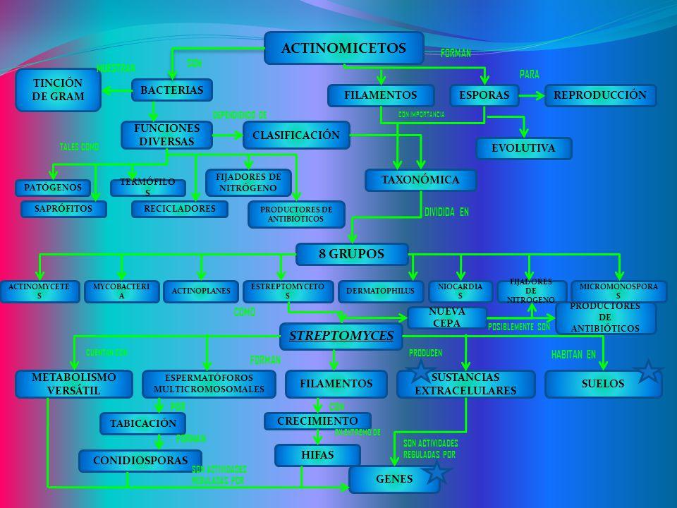 ACTINOMICETOS BACTERIAS TAXONÓMICA CLASIFICACIÓN FUNCIONES DIVERSAS REPRODUCCIÓNESPORASFILAMENTOS TINCIÓN DE GRAM EVOLUTIVA FIJADORES DE NITRÓGENO PRO