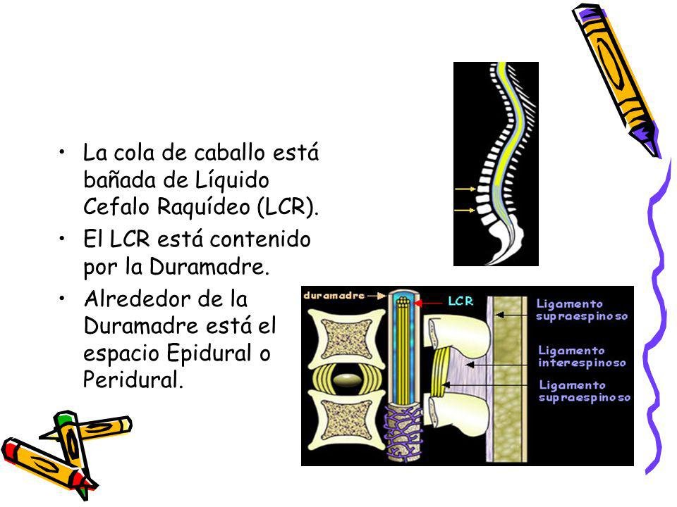 La cola de caballo está bañada de Líquido Cefalo Raquídeo (LCR). El LCR está contenido por la Duramadre. Alrededor de la Duramadre está el espacio Epi