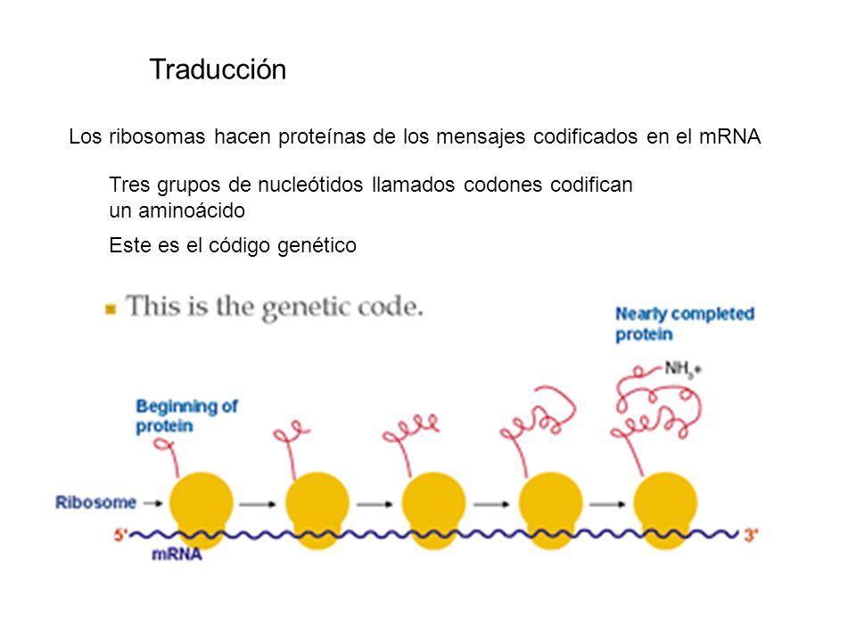 Los ribosomas hacen proteínas de los mensajes codificados en el mRNA Tres grupos de nucleótidos llamados codones codifican un aminoácido Este es el có
