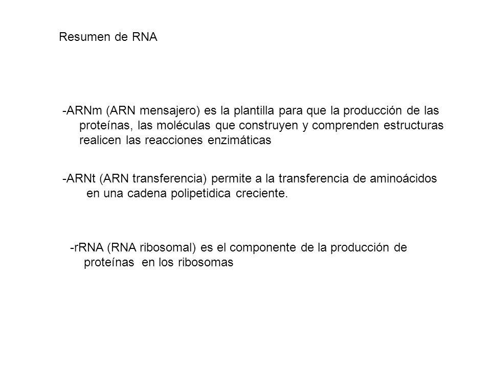 Resumen de RNA -ARNm (ARN mensajero) es la plantilla para que la producción de las proteínas, las moléculas que construyen y comprenden estructuras re