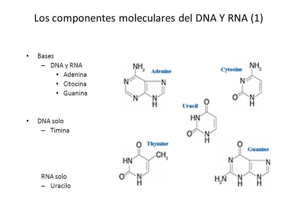 Los componentes moleculares del DNA Y RNA (1) Bases – DNA y RNA Adenina Citocina Guanina DNA solo – Timina RNA solo – Uracilo