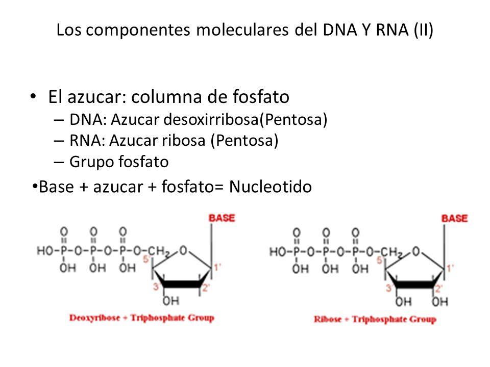 Los componentes moleculares del DNA Y RNA (II) El azucar: columna de fosfato – DNA: Azucar desoxirribosa(Pentosa) – RNA: Azucar ribosa (Pentosa) – Gru