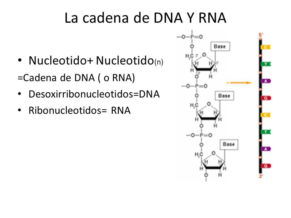 DNA es una doble cadena El DNA esta unido por puentes de hidrogeno A siempre unida con T C Siempre unida con G La secuencia de una Cadena predice la Secuencia de la otra