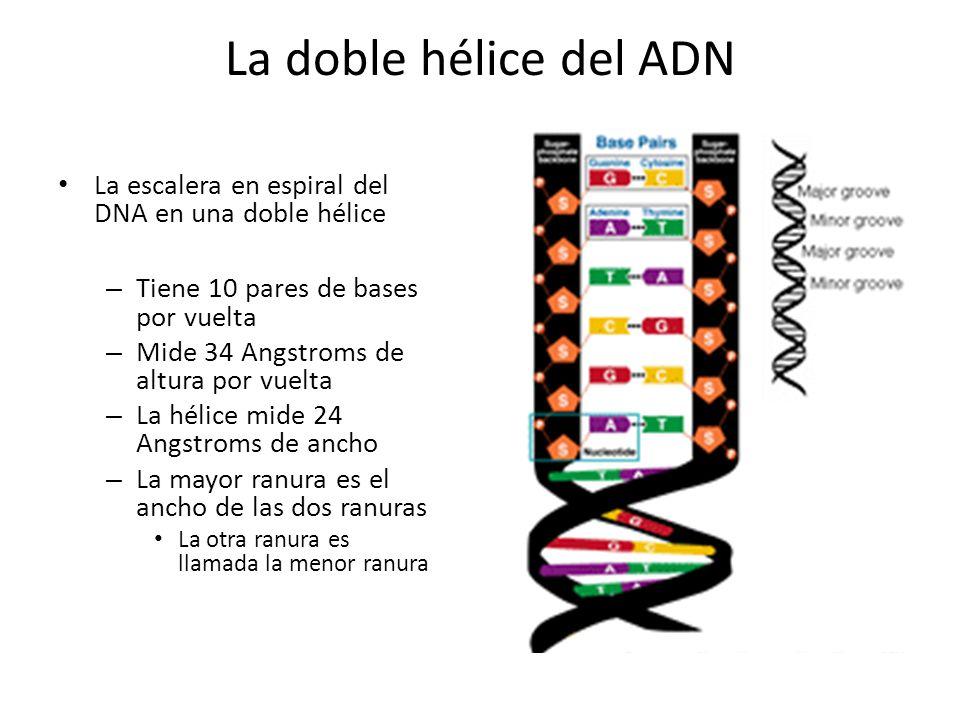 La doble hélice del ADN La escalera en espiral del DNA en una doble hélice – Tiene 10 pares de bases por vuelta – Mide 34 Angstroms de altura por vuel
