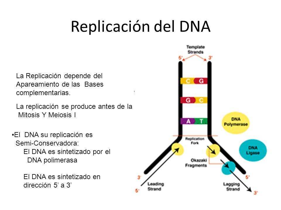 Replicación del DNA La Replicación depende del Apareamiento de las Bases complementarias. La replicación se produce antes de la Mitosis Y Meiosis I El