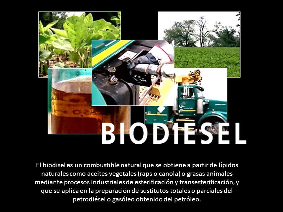 El biodisel es un combustible natural que se obtiene a partir de lípidos naturales como aceites vegetales (raps o canola) o grasas animales mediante p