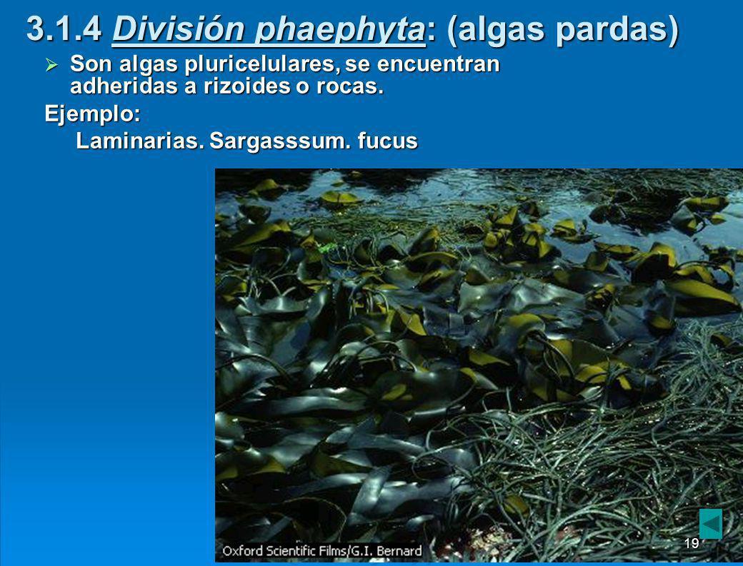 3.1.3 División clorophyta: (algas verdes) Antecesores cercanos a las plantas.