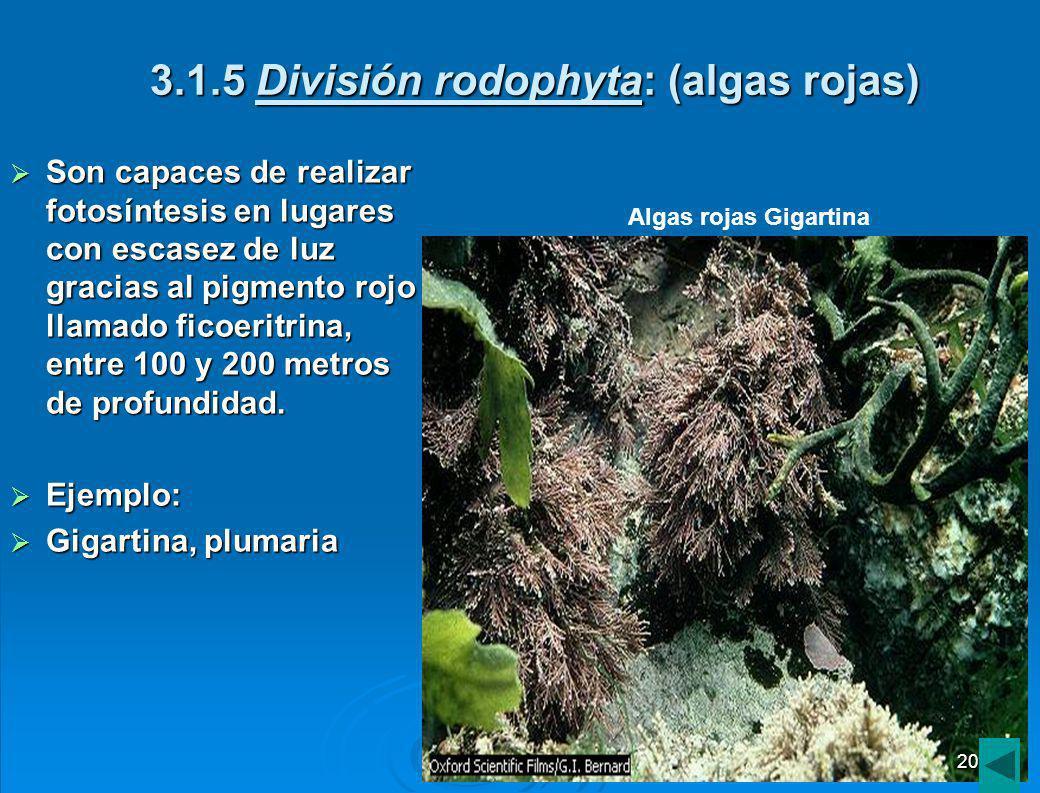 3.1.4 División phaephyta: (algas pardas) Son algas pluricelulares, se encuentran adheridas a rizoides o rocas.