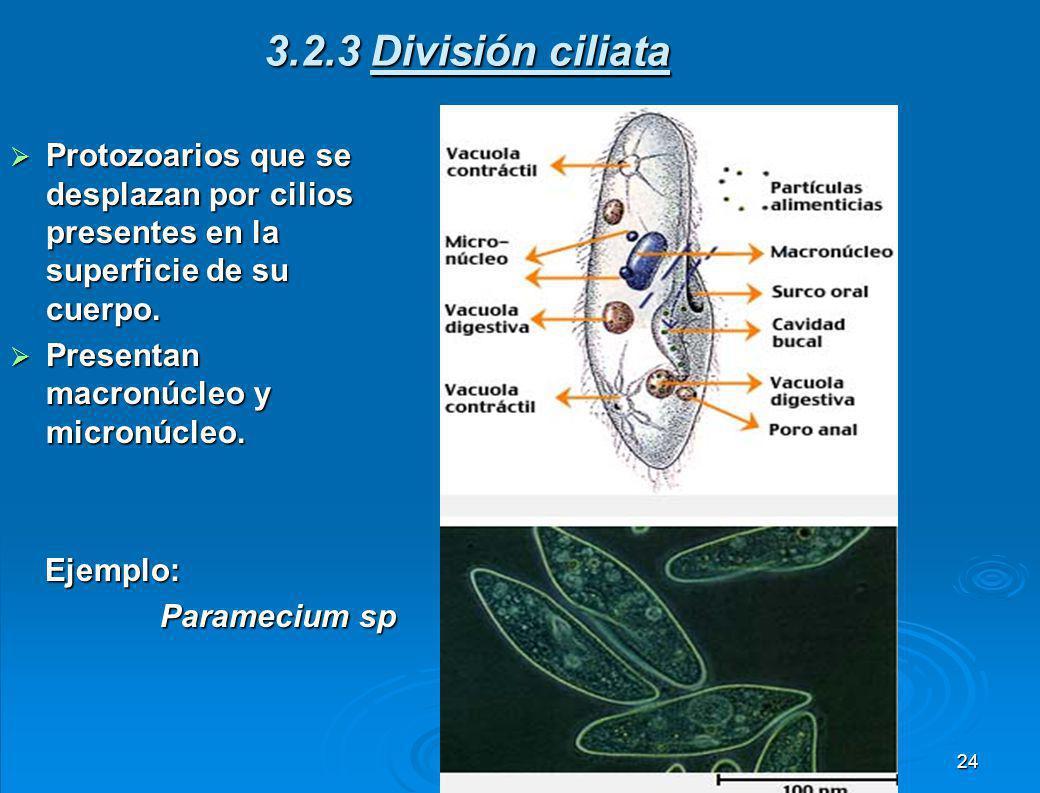 Estos protozoarios no presentan forma definida, ya que para desplazarse emiten pseudópodos o falsos pies. Estos protozoarios no presentan forma defini