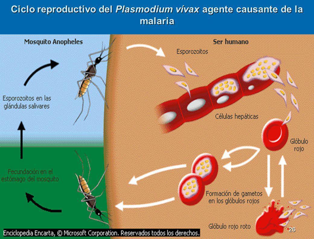 3.2.4 División esporozoarios Carecen de movilidad. Son parásitos obligados; su reproducción es por esporas. Carecen de movilidad. Son parásitos obliga