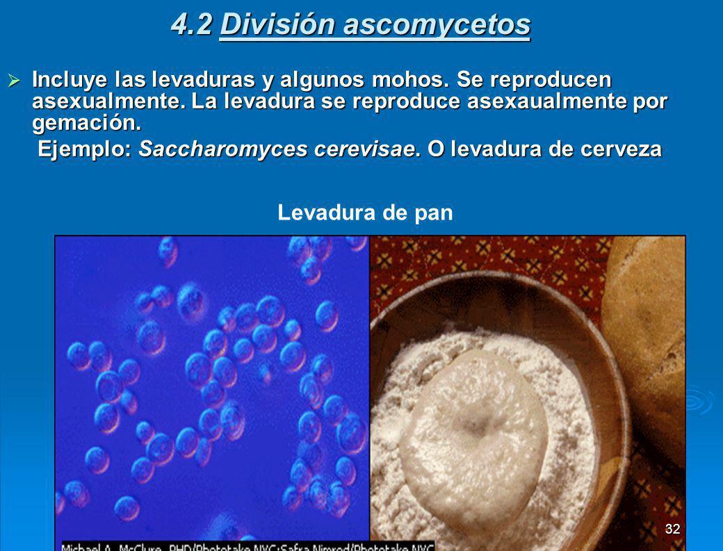 4.1 División ficomycota o ficomicetos Que crece sobre un trozo de pan pasado, muestra el micelio, o conjunto de filamentos entrelazados que constituyen la porción vegetativa del hongo.